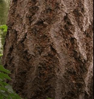 Douglas Fir Tree from Canada