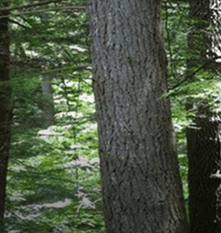 Western Hemlock Tree from Canada