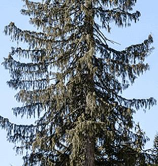Yellow Cedar Tree from Canada